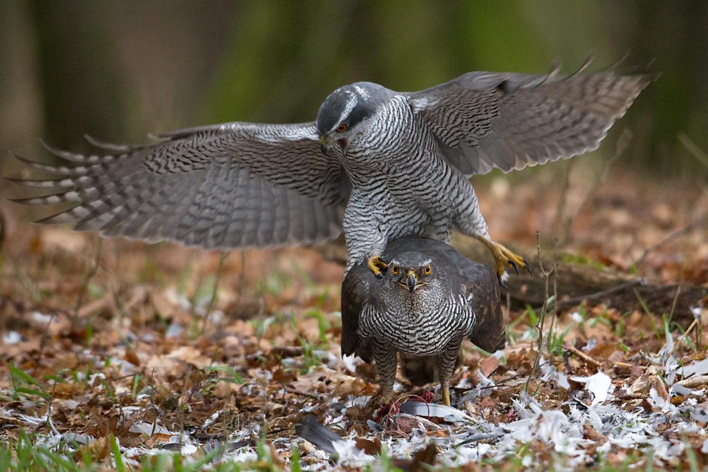 Accipiter gentilis; Accipitriformes; Goshawk; Habicht; adult; birds; greifvögel; kopula; male; männchen; paar; pröhl; raptors; vögel
