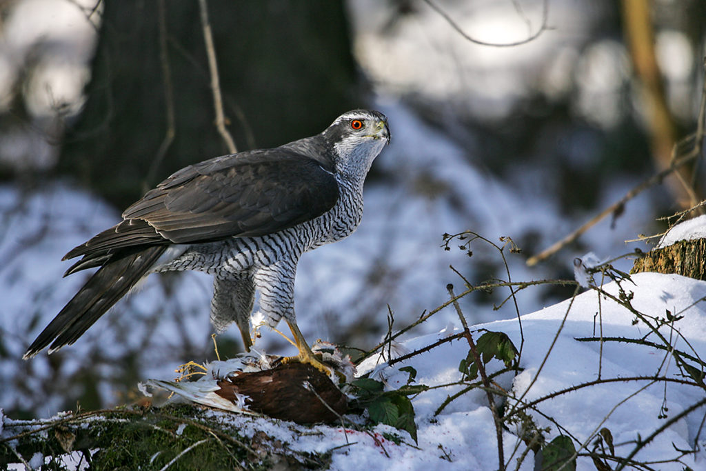 Accipiter gentilis; Habicht; beute; greifvögel; jagd; pröhl; winter