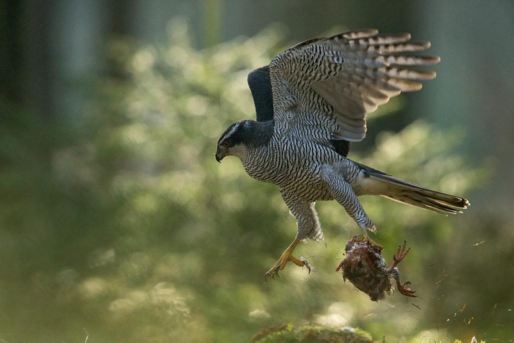Accipiter gentilis; Accipitriformes; Goshawk; Habicht; birds; greifvögel; male; männchen; pröhl; raptors; vögel