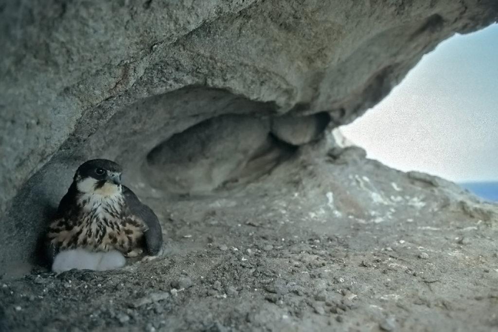 Eleonorenfalke; Falco eleonorae; greifvögel; juv.; nest; pröhl; sardinien