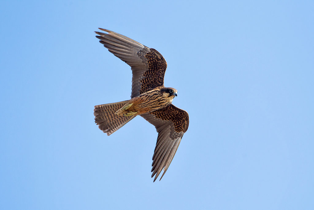 Crete; Eleonora`s Falcon; Eleonorenfalke; Falco eleonorae; Greece; Kreta; birds; falconiformes; flight; flug; greifvögel; griechenland; pröhl; raptors; vögel