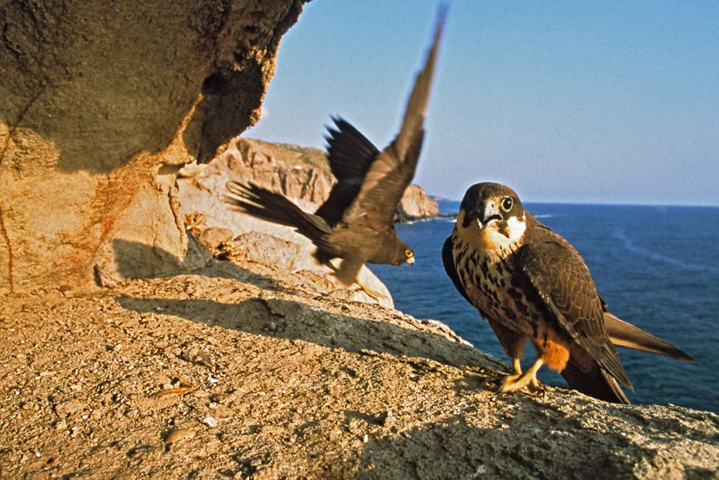 Eleonorenfalke; Falco eleonorae; greifvögel; männchen; pröhl; sardinien; weibchen