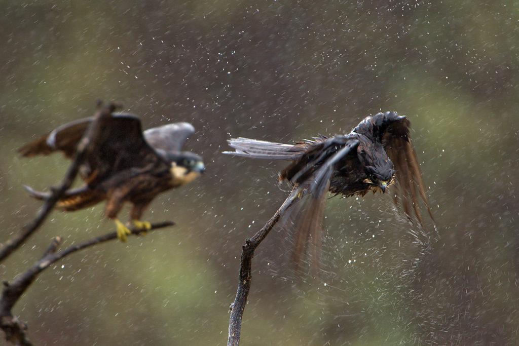 Eleonora`s Falcon; Eleonorenfalke; Falco eleonorae; bath; birds; falconiformes; gefiederpflege; greifvögel; marokko; pröhl; rain; raptors; regen; regenbad; vögel