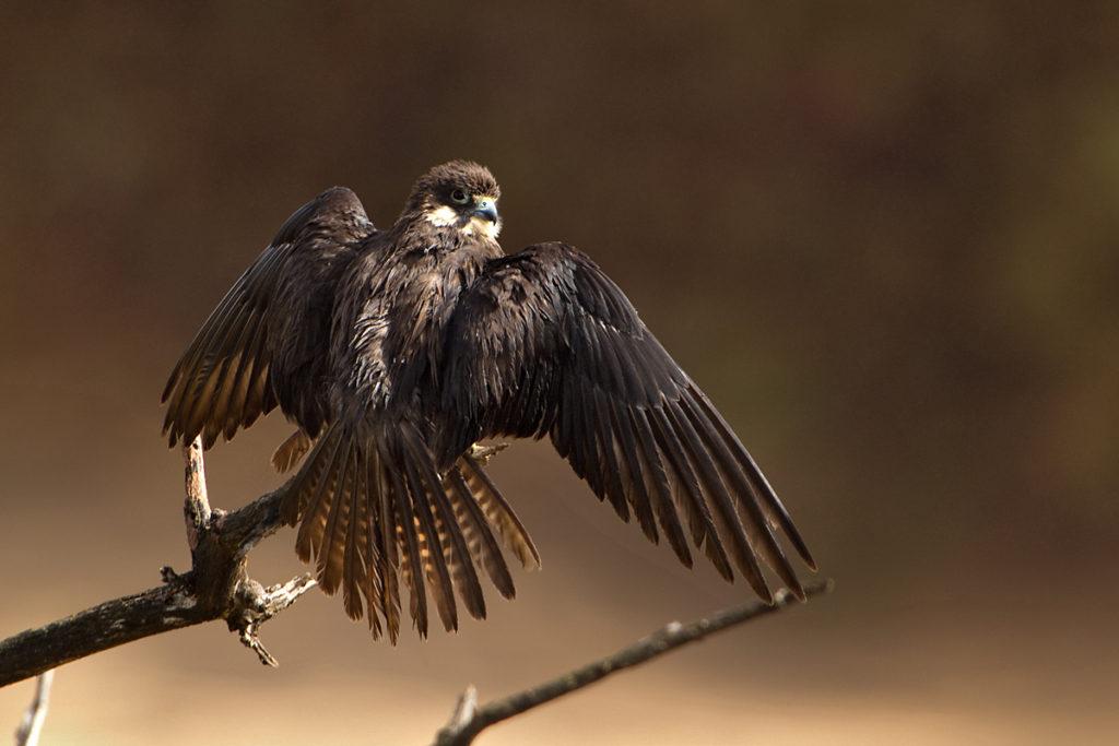 Eleonora`s Falcon; Eleonorenfalke; Falco eleonorae; birds; falconiformes; gefiederpflege; greifvögel; marokko; pröhl; raptors; sonnenbad; sunbath; vögel