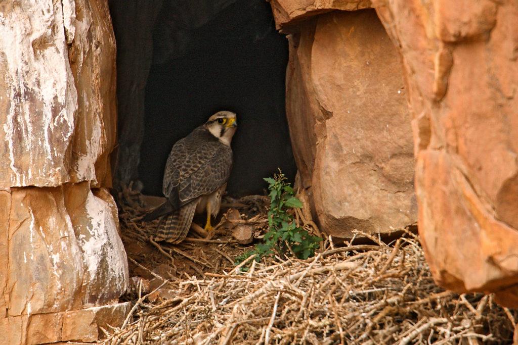 Falco biarmicus erlangeri; Lanner; Lannerfalke; Lannerfalke sspec.1; birds; breed; brut; falconiformes; greifvögel; marokko; nest; pröhl; raptors; vögel