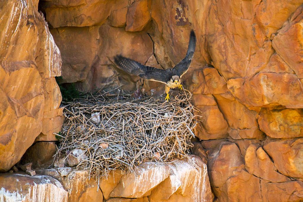 Falco biarmicus erlangeri; Lanner; Lannerfalke; Lannerfalke sspec.1; birds; falconiformes; greifvögel; horst; marokko; nest; pröhl; raptors; vögel