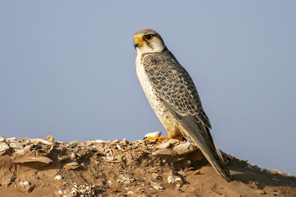 Falco biarmicus; Lannerfalke; greifvögel; marokko; männchen; pröhl