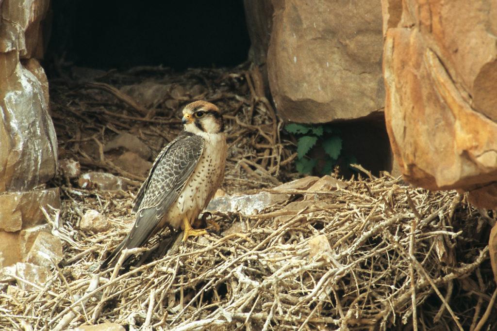 Falco biarmicus; Lannerfalke; greifvögel; marokko; nest; pröhl