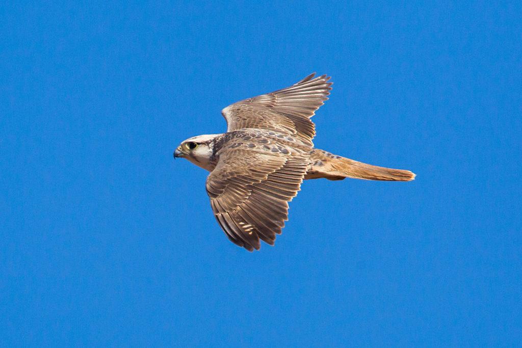 Falco biarmicus erlangeri; Lanner; Lannerfalke; Lannerfalke sspec.1; Morocco; ad.; birds; falconiformes; flight; flug; greifvögel; marokko; pröhl; raptors; vögel