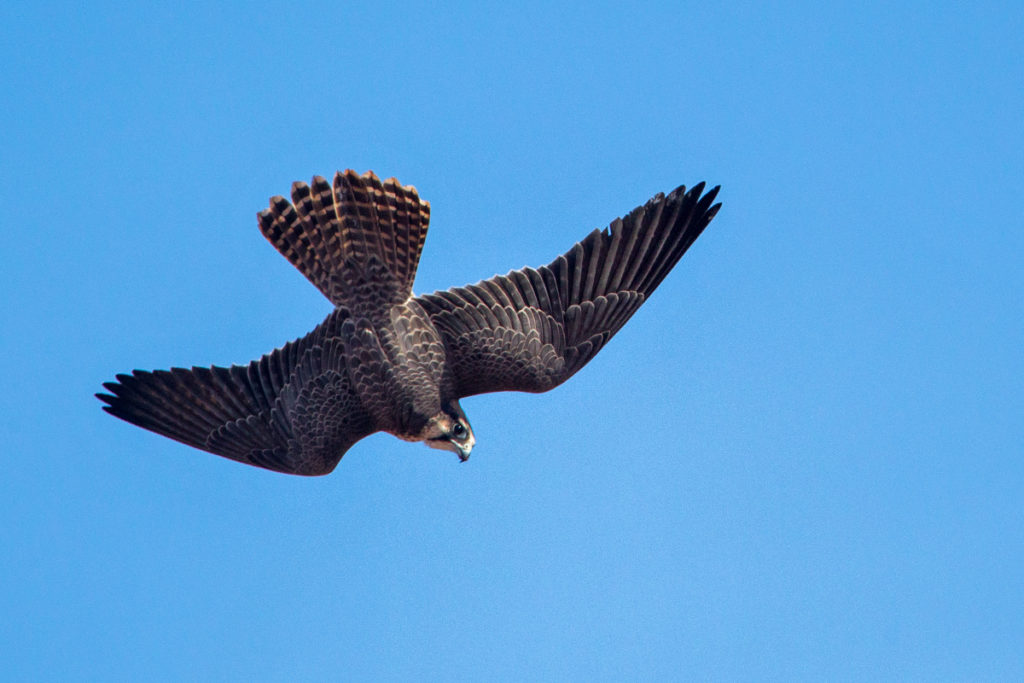 Falco biarmicus erlangeri; Lanner; Lannerfalke; Lannerfalke sspec.1; birds; falconiformes; flight; flug; greifvögel; marokko; pröhl; raptors; vögel