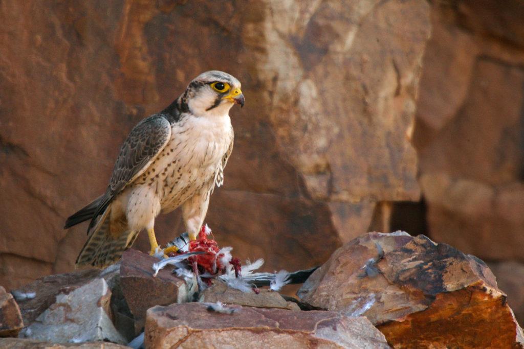 Falco biarmicus erlangeri; Lanner; Lannerfalke; Lannerfalke sspec.1; beute; birds; capture; falconiformes; greifvögel; hunting; jagd; marokko; pröhl; raptors; vögel