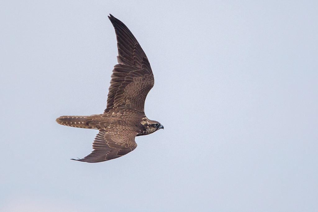 Falco cherrug; Saker Falcon; Sakerfalke; Slowakei; Würgfalke; birds; falconiformes; flight; flug; greifvögel; pröhl; raptors; vögel
