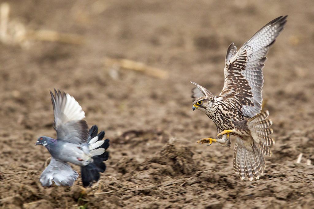 Falco cherrug; Saker Falcon; Sakerfalke; Slovakia; Slowakei; Würgfalke; beute; birds; capture; falconiformes; flight; flug; greifvögel; hunting; jagd; pröhl; raptors; vögel