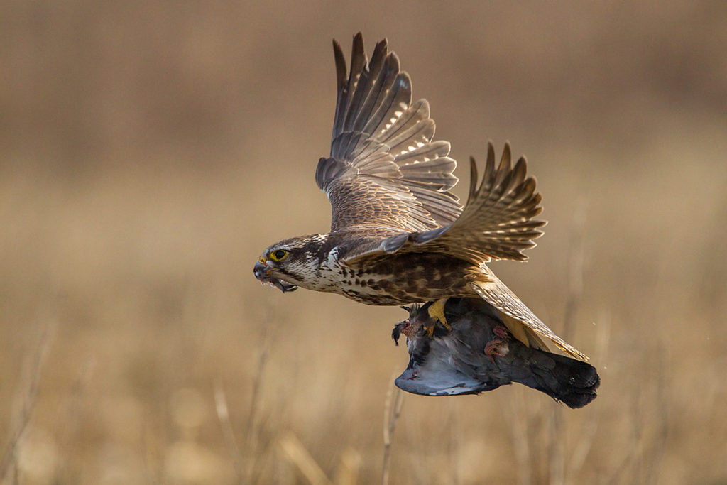 Falco cherrug; Saker Falcon; Sakerfalke; Slowakei; Würgfalke; beute; birds; capture; falconiformes; flight; flug; greifvögel; hunting; jagd; pröhl; raptors; vögel