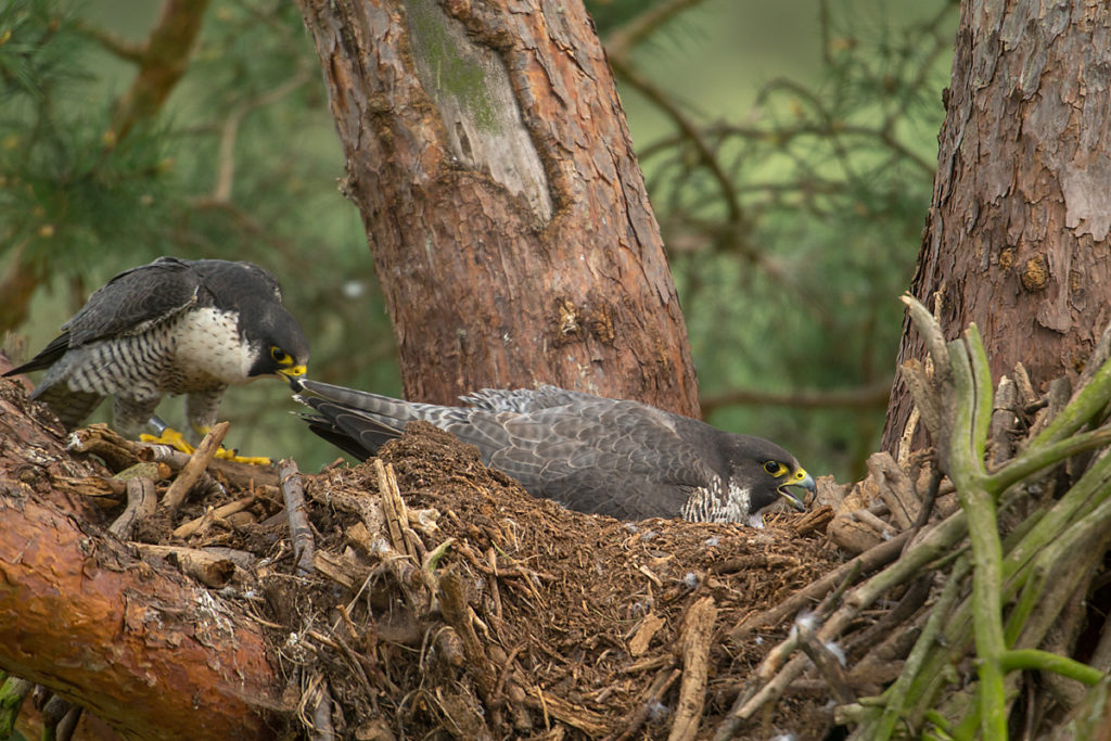 Falco peregrinus; Peregrine Falcon; Wanderfalke; birds; falconiformes; greifvögel; pröhl; raptors; vögel