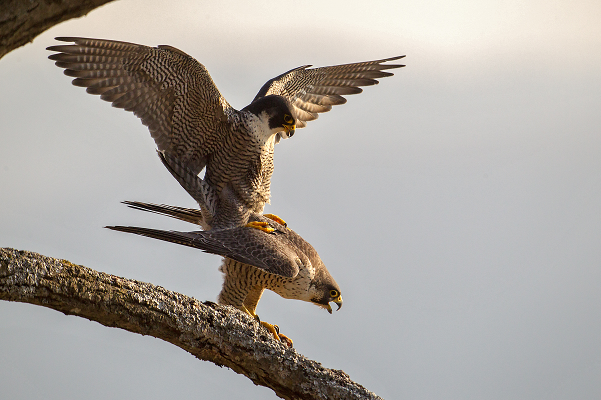 Falco peregrinus; Peregrine Falcon; Wanderfalke; baumbrüter; birds; couple; falconiformes; greifvögel; kopula; mating; paar; paarung; pröhl; raptors; vögel