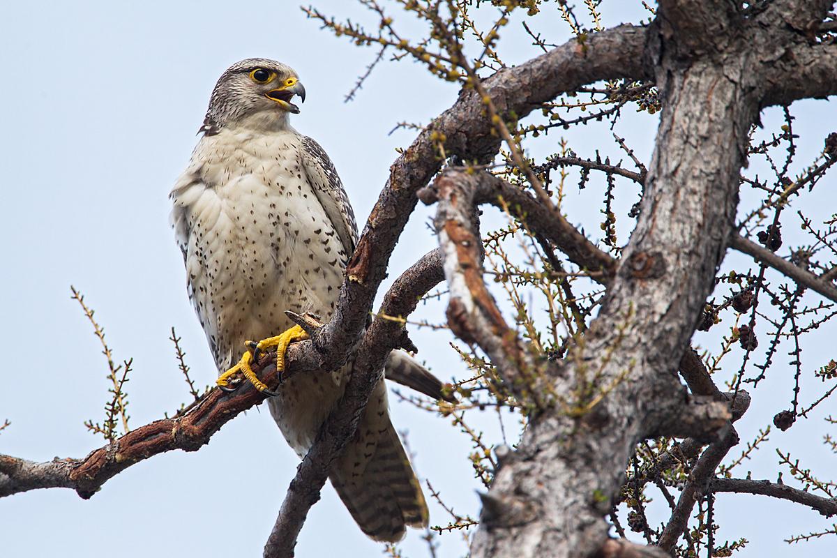 Falco rusticolus; Gerfalke; Gyrfalcon; Jamal-Halbinsel; Kretschet; Russland; Samojeden-Halbinsel; Sibirien; Yamal Peninsula; birds; falconiformes; greifvögel; pröhl; raptors; russia; vögel