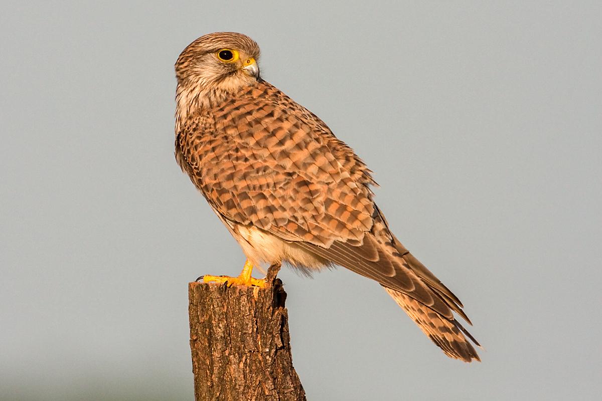 Falco tinnunculus; Kestrel; Turmfalke; birds; falconiformes; falken; female; greifvögel; pröhl; raptors; vögel; weibchen
