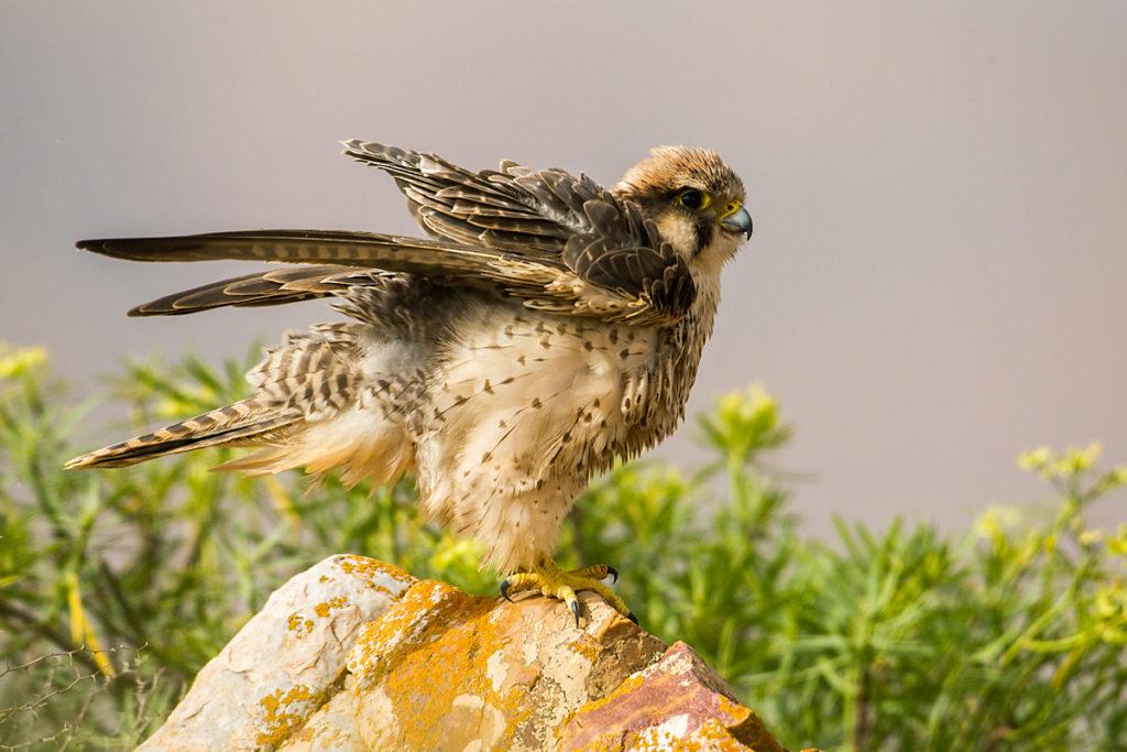 Falco biarmicus erlangeri; Lanner; Lannerfalke; Lannerfalke sspec.1; birds; falconiformes; greifvögel; marokko; pröhl; raptors; vögel