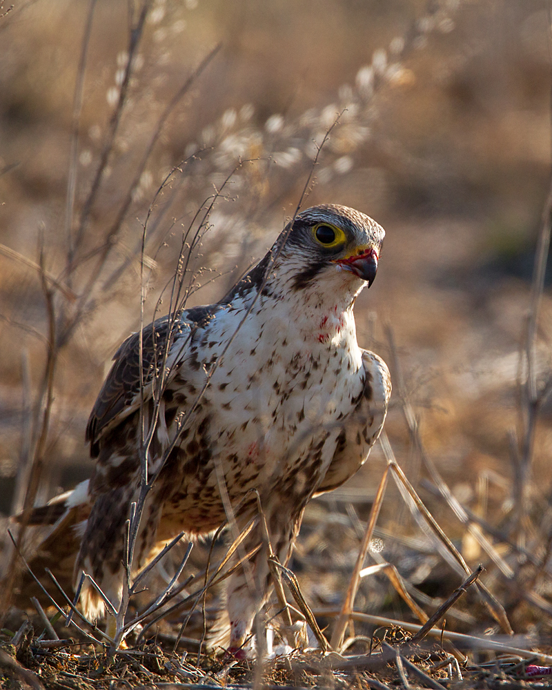 Falco cherrug; Saker Falcon; Sakerfalke; Slowakei; Würgfalke; beute; birds; capture; falconiformes; greifvögel; hunting; jagd; pröhl; raptors; vögel