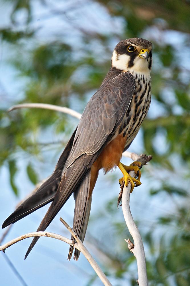 Baumfalke; Falco subbuteo; Hobby; Kasachstan; birds; falconiformes; greifvögel; high size; hochformat; pröhl; raptors; vögel