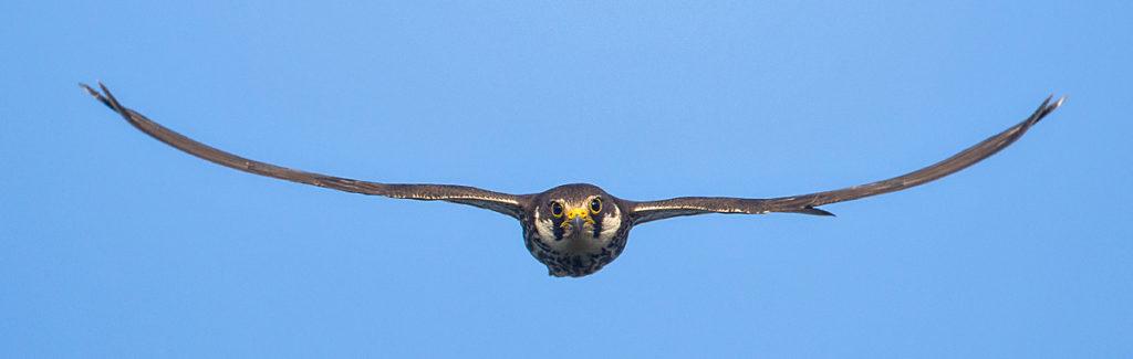 Baumfalke; Falco subbuteo; Hobby; birds; falconiformes; flight; flug; greifvögel; pröhl; raptors; vögel