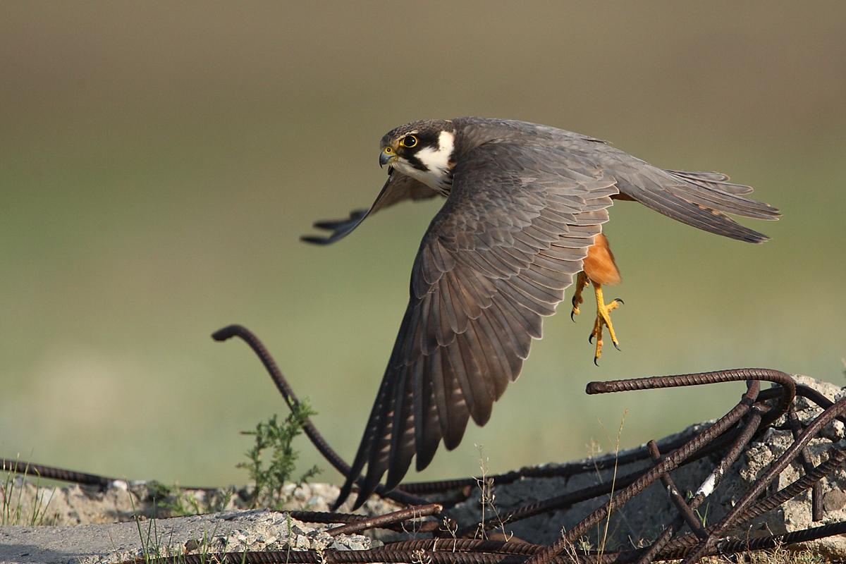 Baumfalke; Falco subbuteo; Hobby; Kasachstan; birds; falconiformes; flight; flug; greifvögel; pröhl; raptors; vögel