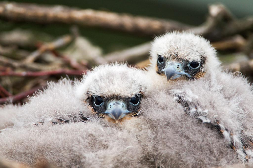 Baumfalke; Falco subbuteo; Hobby; birds; breed; brut; falconiformes; greifvögel; horst; juv.; nest; pröhl; raptors; vögel