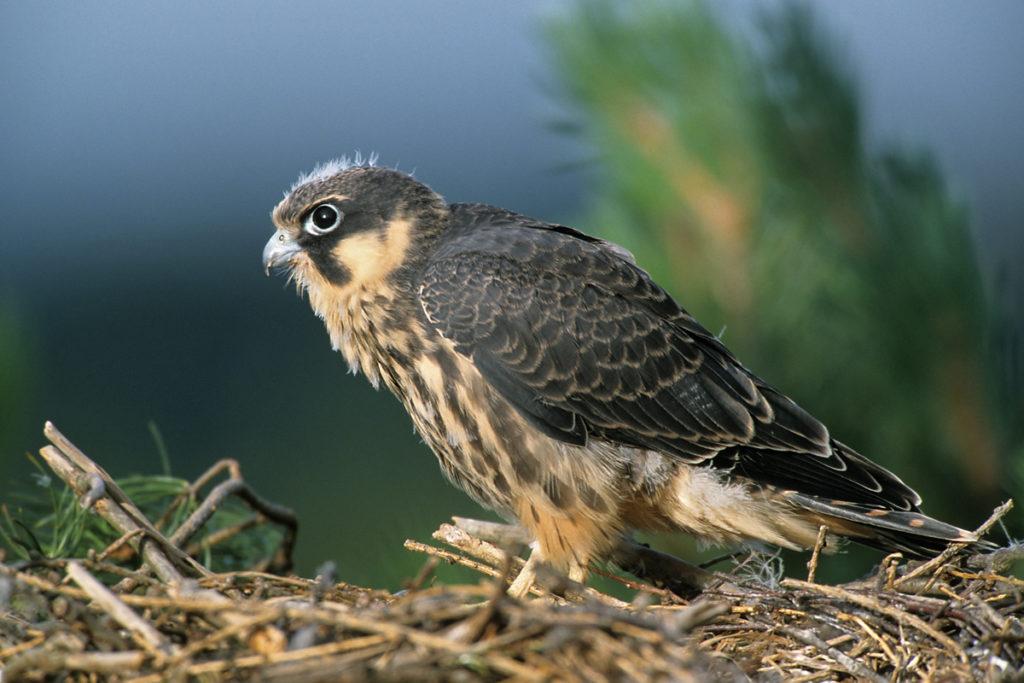 Baumfalke; Falco subbuteo; greifvögel; horst; juv.; nest; pröhl