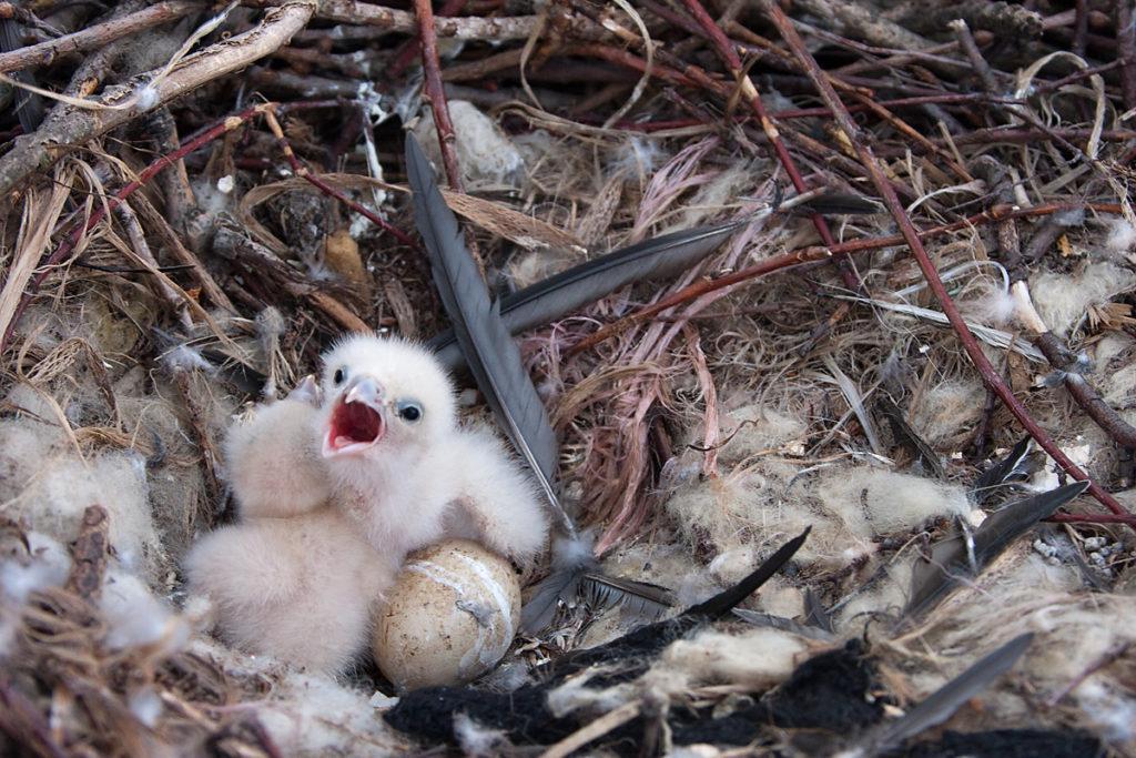 Baumfalke; Falco subbuteo; Hobby; birds; falconiformes; greifvögel; horst; juv.; nest; pröhl; raptors; vögel