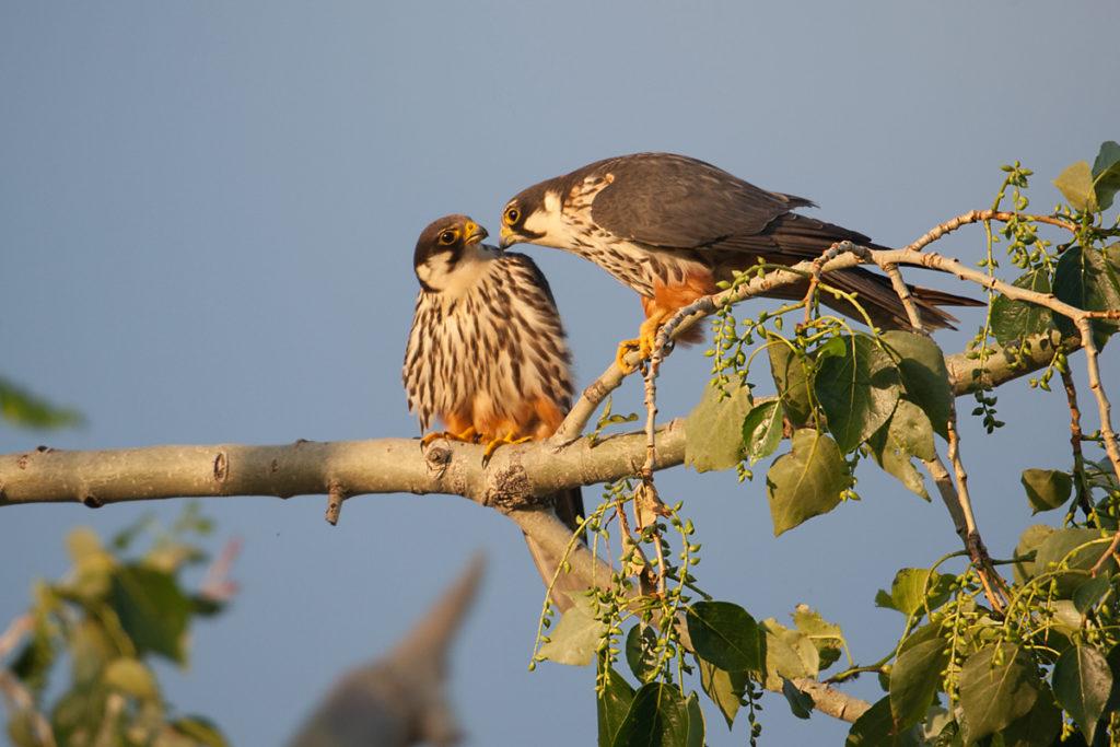 Baumfalke; Falco subbuteo; Hobby; Kasachstan; birds; falconiformes; greifvögel; pröhl; raptors; vögel