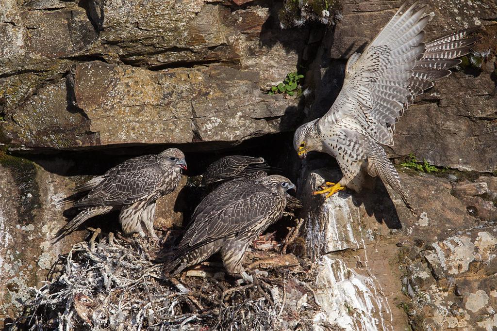 Falco rusticolus; Gerfalke; Gyrfalcon; Iceland; Island; Islandfalke; Kretschet; birds; falconiformes; greifvögel; horst; nest; pröhl; raptors; vögel