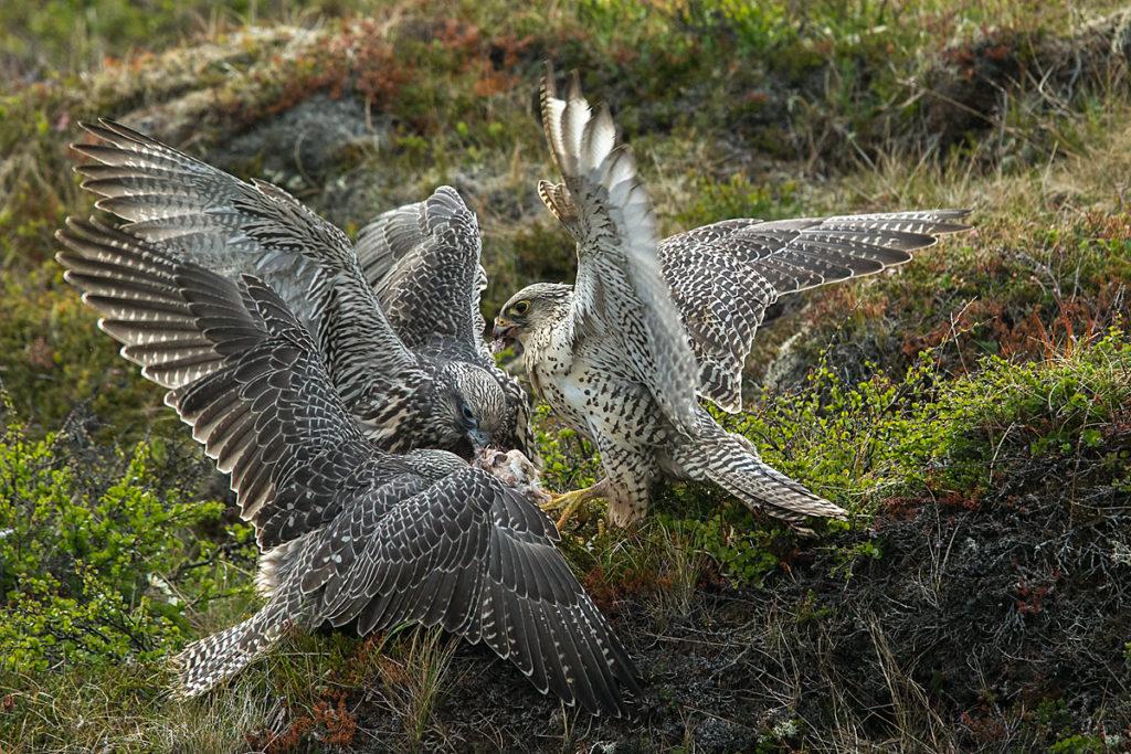Falco rusticolus; Gerfalke; Gyrfalcon; Iceland; Island; Islandfalke; Kretschet; ad.; adult; beuteübergabe; birds; falconiformes; feeding; fütterung; greifvögel; juv.; juvenil; pröhl; raptors; vögel