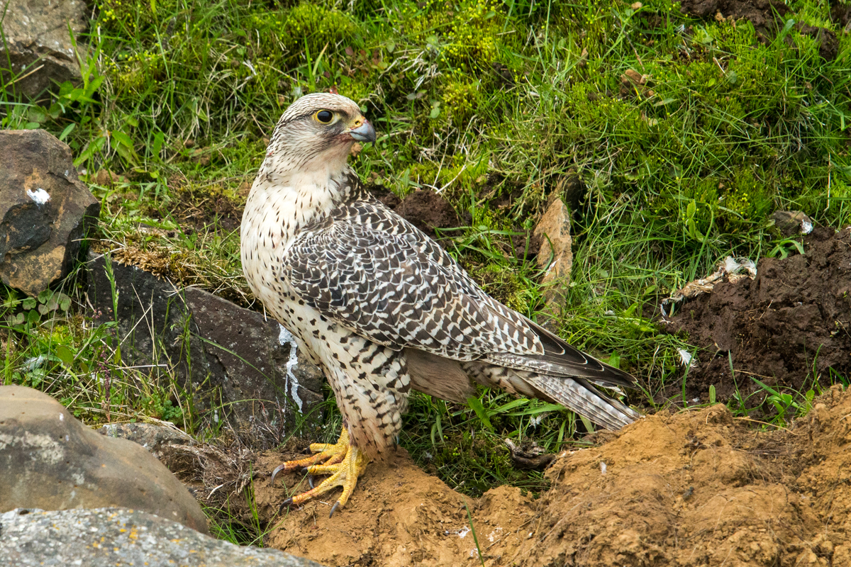 Falco rusticolus; Gerfalke; Gyrfalcon; Iceland; Island; Islandfalke; Kretschet; ad.; adult; birds; falconiformes; greifvögel; pröhl; raptors; vögel