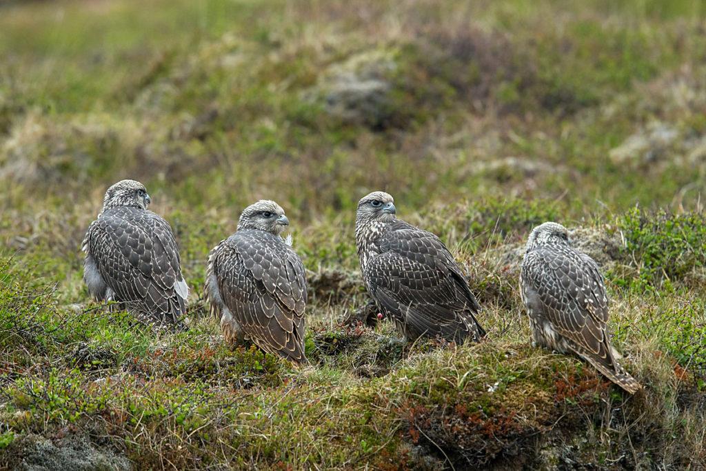 Falco rusticolus; Gerfalke; Gyrfalcon; Iceland; Island; Islandfalke; Kretschet; birds; falconiformes; greifvögel; juv.; juvenil; pröhl; raptors; vögel