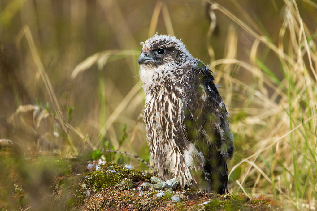 Falco rusticolus; Gerfalke; Gyrfalcon; Jamal-Halbinsel; Kretschet; Russland; Samojeden-Halbinsel; Sibirien; Yamal Peninsula; birds; falconiformes; greifvögel; juv.; pröhl; raptors; russia; vögel