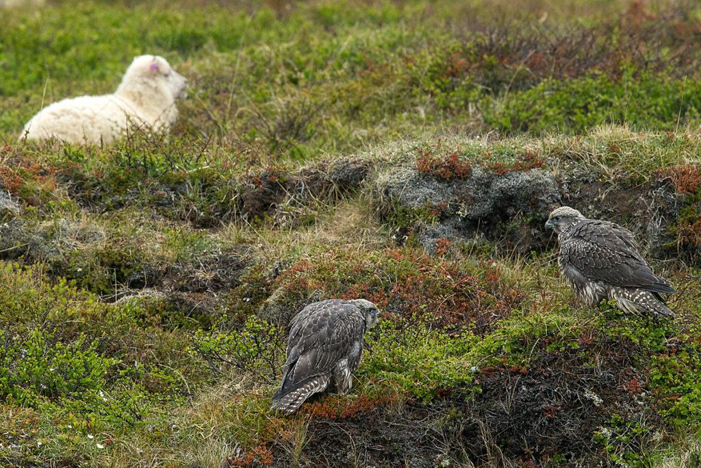 Artiodactyla; Even-toed ungulate; Falco rusticolus; Gerfalke; Gyrfalcon; Iceland; Island; Islandfalke; Islandschaf; Kretschet; Nordisches Kurzschwanzschaf; Ovis orientalis f. aries; Paarhufer; birds; domesticated animals; falconiformes; greifvögel; haustier; juv.; juvenil; mammals; pröhl; raptors; schaf; sheep; säugetiere; vögel