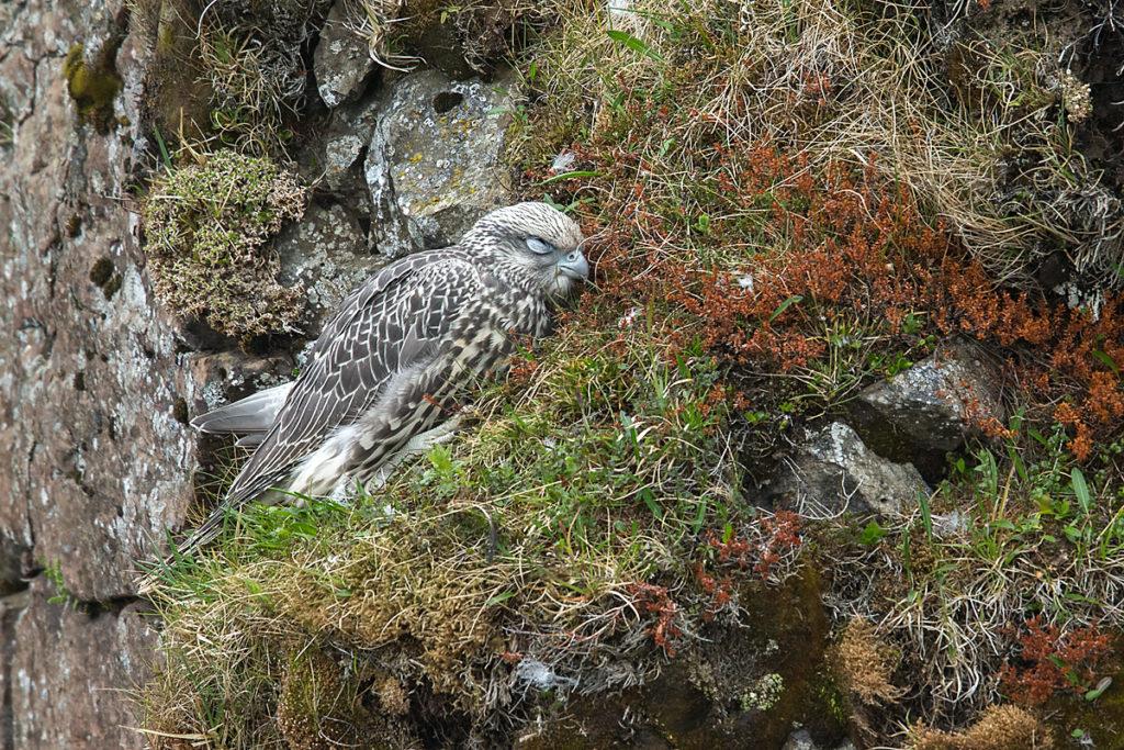 Falco rusticolus; Gerfalke; Gyrfalcon; Iceland; Island; Islandfalke; Kretschet; birds; falconiformes; greifvögel; juv.; juvenil; pröhl; raptors; vögel, schlaf