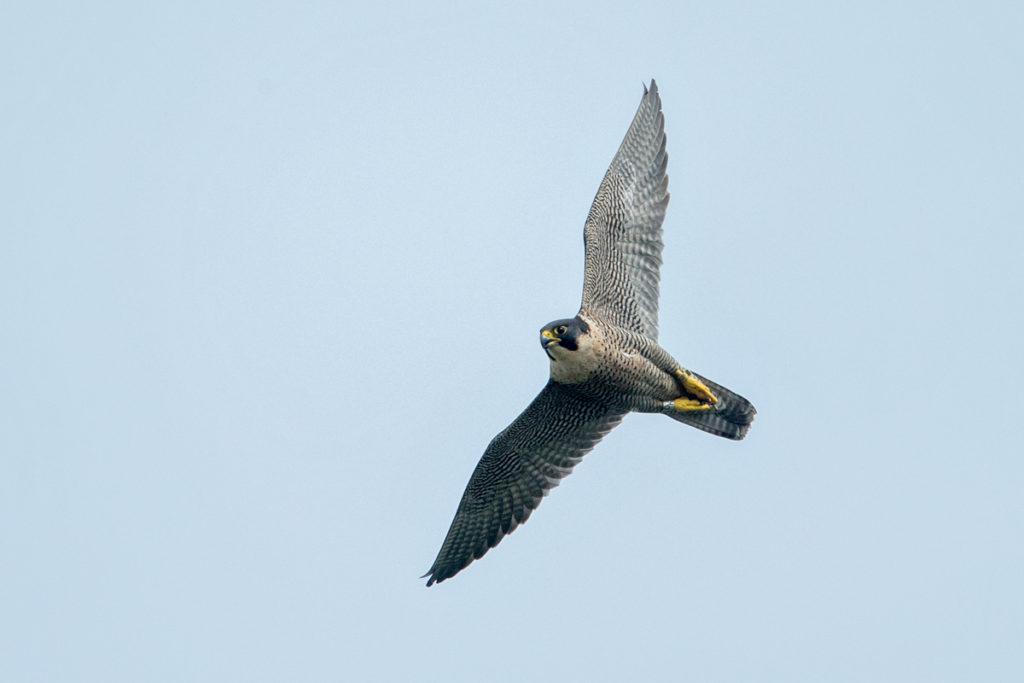 Falco peregrinus; Peregrine Falcon; Wanderfalke; birds; falconiformes; falkenartige; flight; flug; greifvögel; pröhl; raptors; vögel