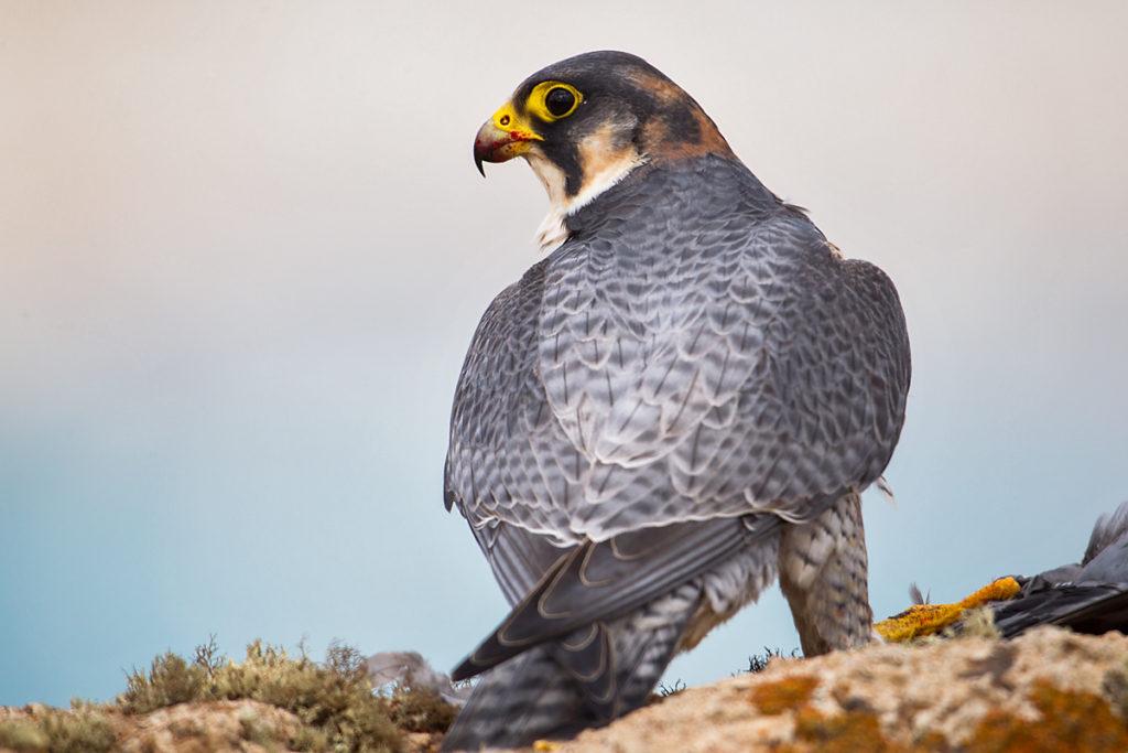 Barbary Falcon; Falco pelegrinoides; Halcon tagarote; Wüstenfalke; birds; falconiformes; greifvögel; pröhl; raptors; vögel