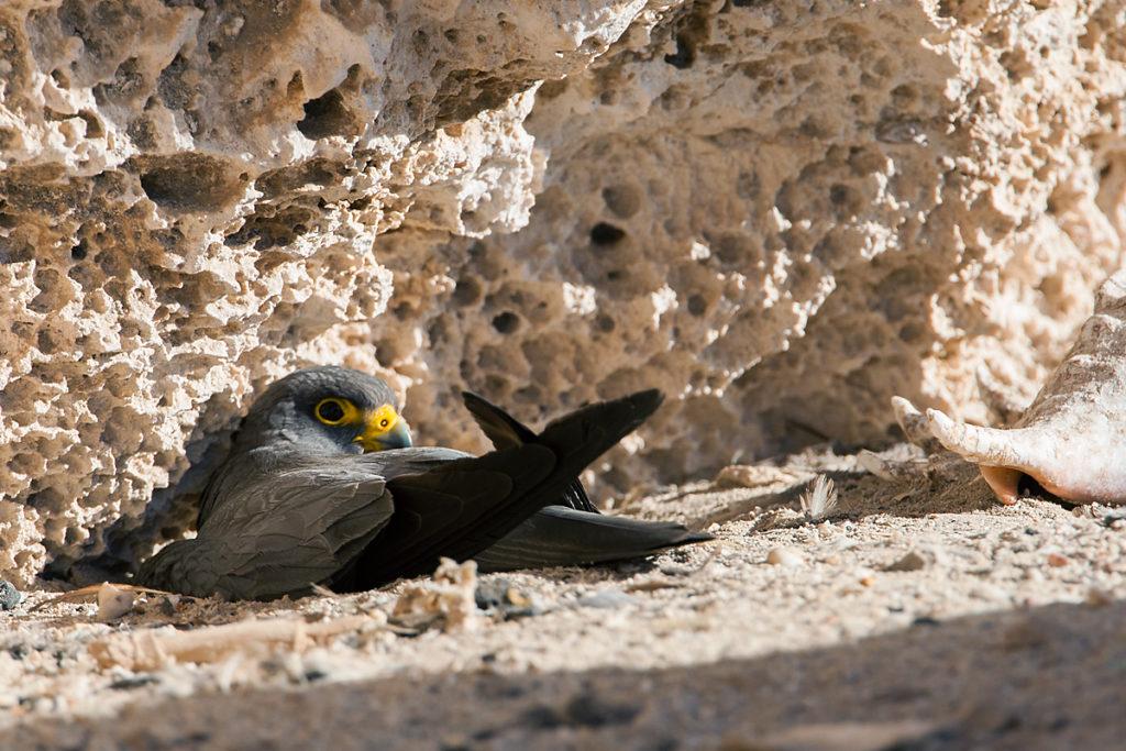 Falco concolor; Schieferfalke; Sooty Falcon; birds; breed; brut; falconiformes; greifvögel; nest; pröhl; raptors; vögel; Ägypten