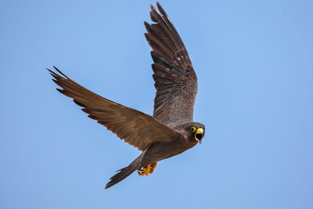 Falco concolor; Schieferfalke; Sooty Falcon; birds; falconiformes; flight; flug; greifvögel; pröhl; raptors; vögel; Ägypten