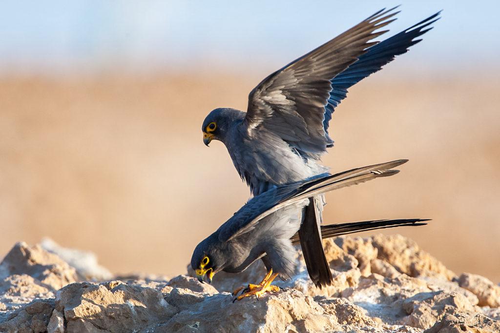 Falco concolor; Schieferfalke; Sooty Falcon; birds; falconiformes; greifvögel; kopula; mating; paarung; pröhl; raptors; vögel; Ägypten