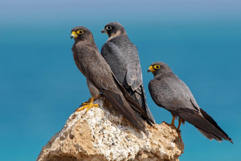 Falco concolor; Schieferfalke; Sooty Falcon; birds; falconiformes; greifvögel; pröhl; raptors; vögel; Ägypten, altvögel, jungvogel