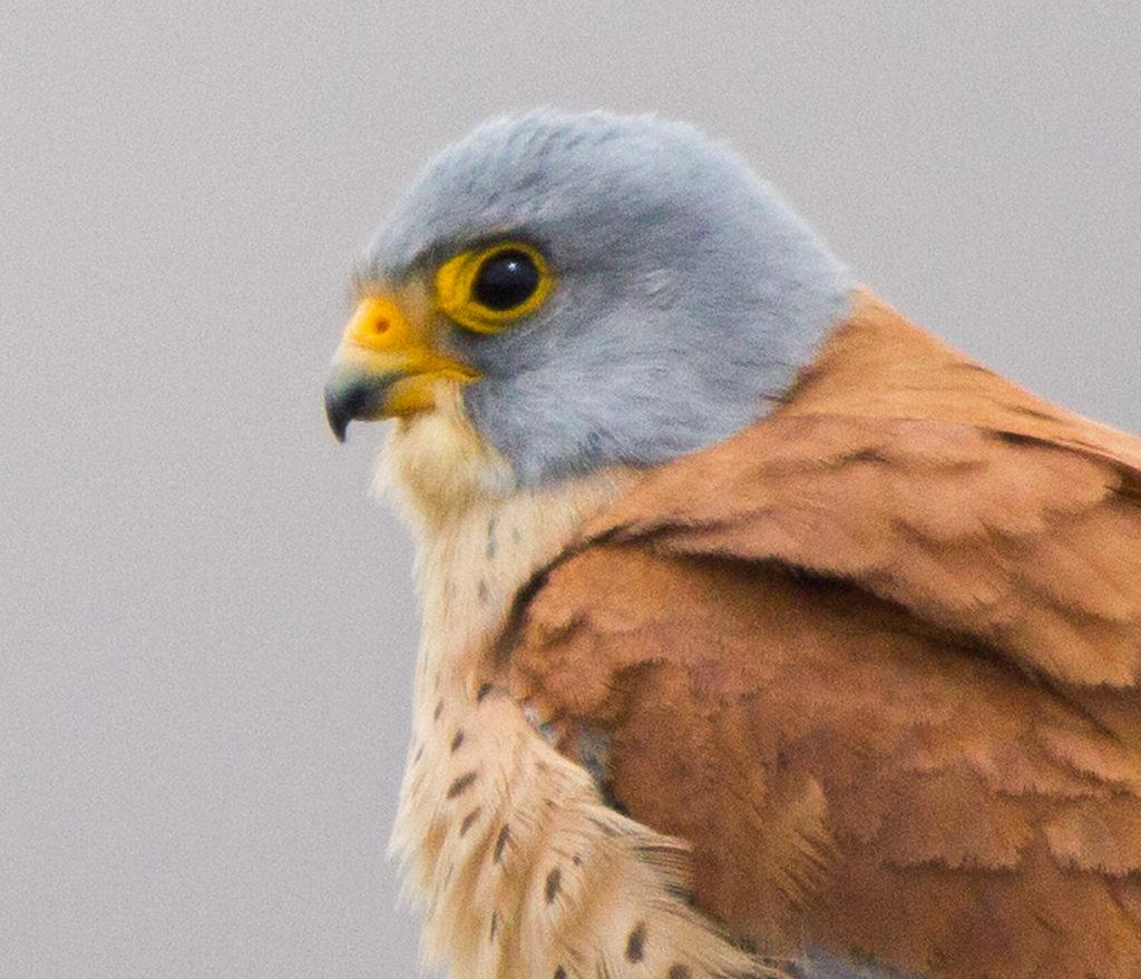 Falco naumanni; Lesser Kestrel; Rötelfalke; Spain; birds; falconiformes; greifvögel; hochforma; male; männchen; pröhl; raptors; spanien; vögel