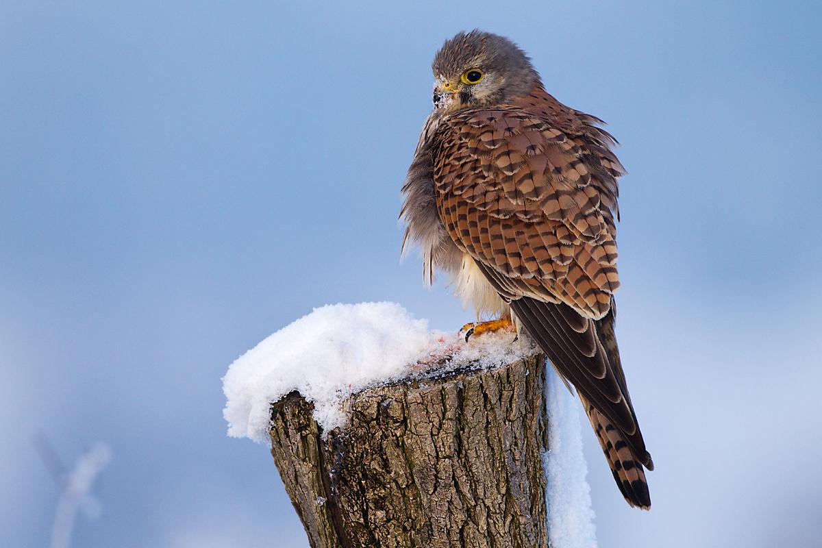 Falco tinnunculus; Kestrel; Turmfalke; birds; falconiformes; falken; greifvögel; pröhl; raptors; vögel; winter