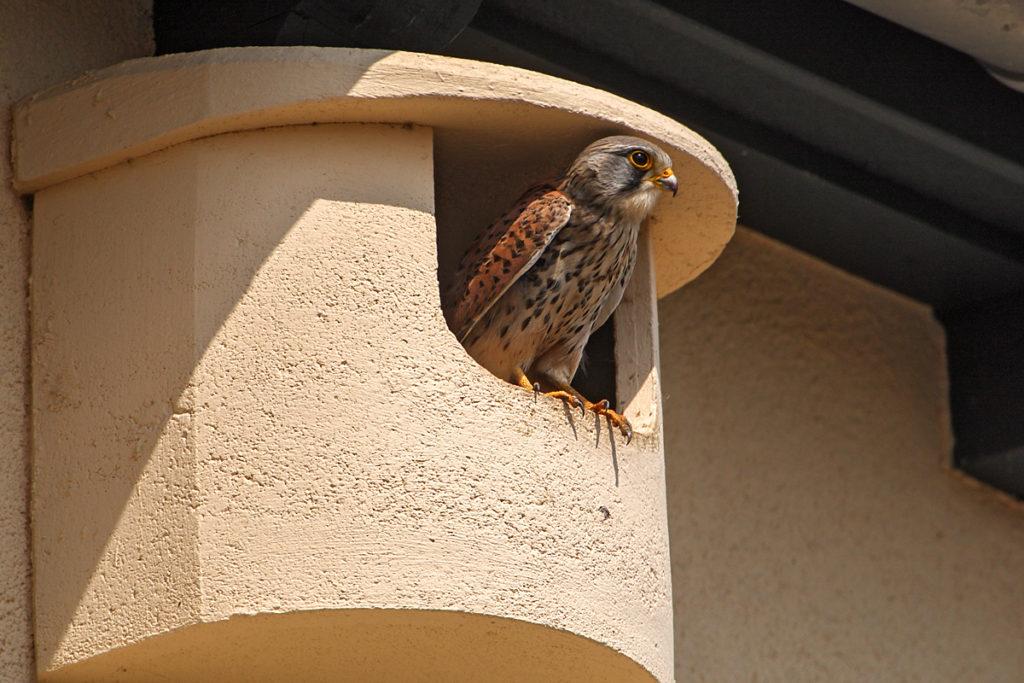 Falco tinnunculus; Kestrel; Turmfalke; birds; falconiformes; falken; greifvögel; nistkasten; pröhl; raptors; strobel-nistkasten; vögel