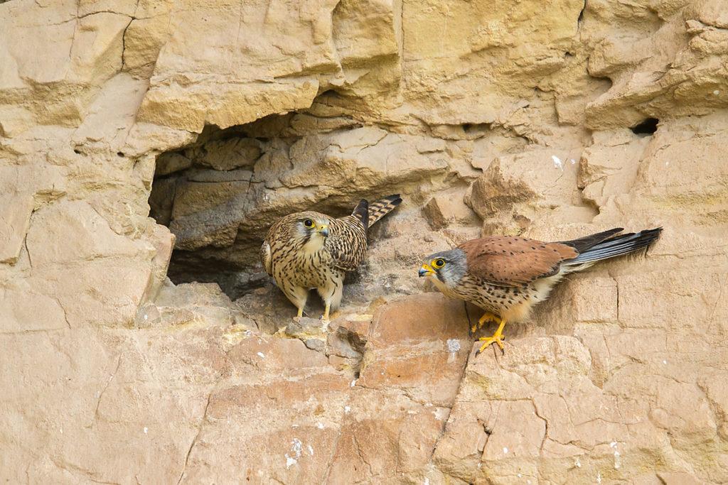 Armenia; Armenien; Falco tinnunculus; Kestrel; Turmfalke; birds; breed; brut; falconiformes; falken; felsen; greifvögel; horst; nest; pröhl; raptors; rock; vögel