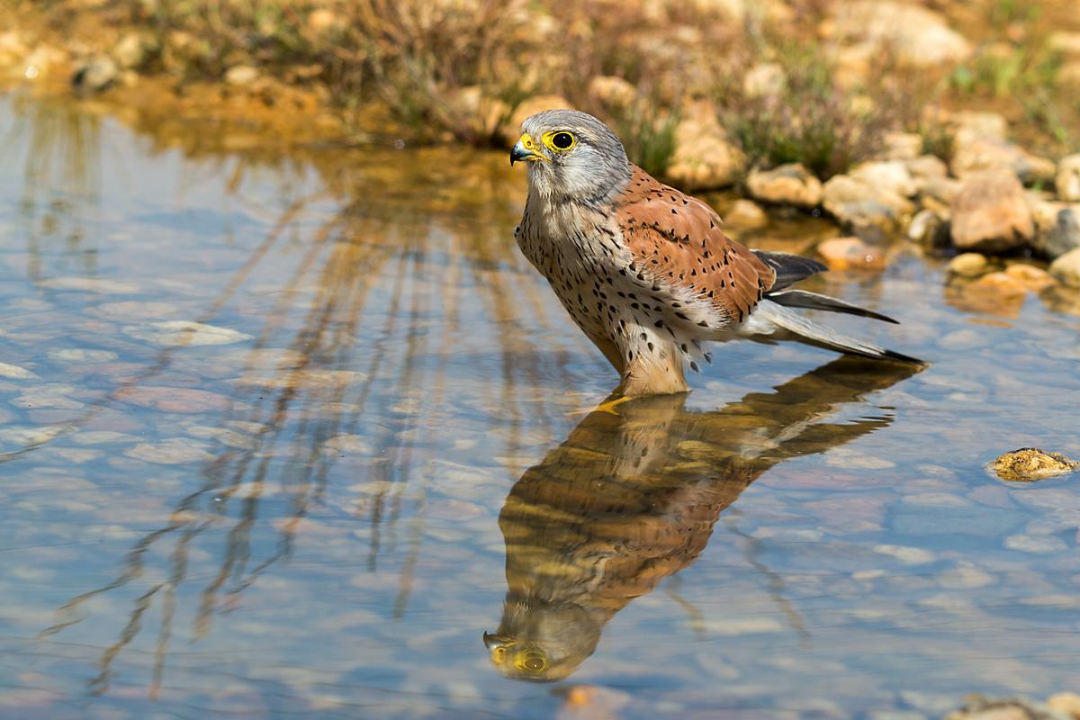 Falco tinnunculus; Kestrel; Turmfalke; bad; bathe; bird bath; birds; falconiformes; falken; greifvögel; leo; male; mirror; männchen; raptors; spiegelbild; tränke; vogelbad; vögel; watering place