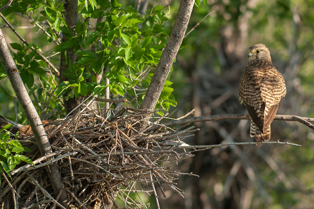Falco tinnunculus; Kasachstan; Kestrel; Turmfalke; birds; breed; brut; falconiformes; falken; female; greifvögel; horst; nest; pröhl; raptors; vögel; weibchen